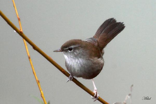 pajaro-en-gris
